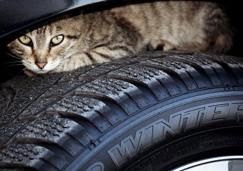 GNR alerta: Com o frio e chuva, animais podem abrigar-se junto às rodas e nos motores